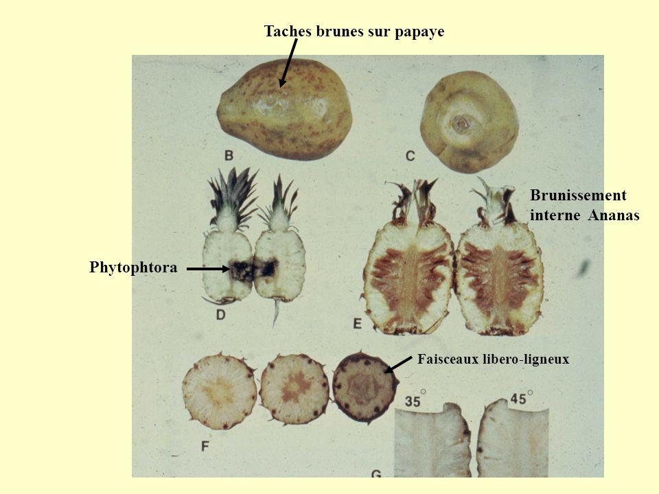 Taches brunes sur papaye Brunissement interne Ananas Phytophtora Faisceaux libero-ligneux