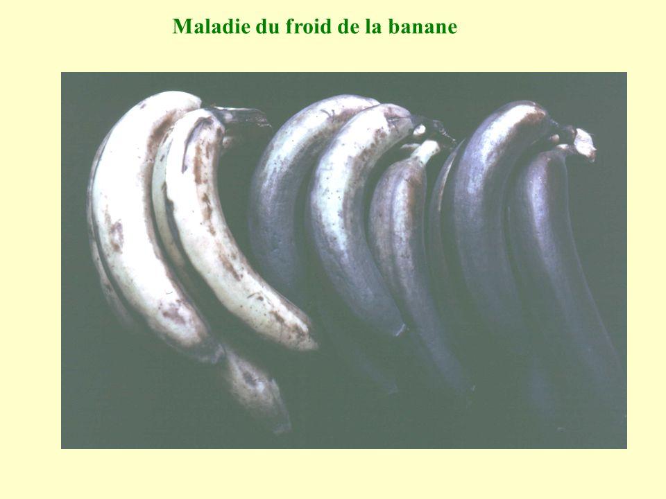 Maladie du froid de la banane