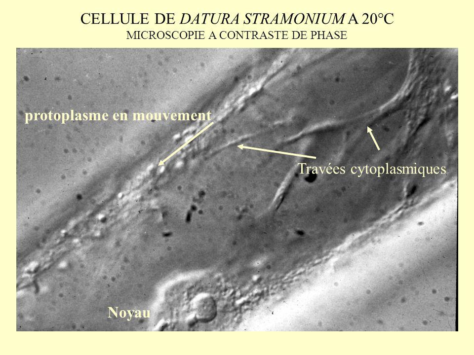 CELLULE DE DATURA STRAMONIUM A 20°C MICROSCOPIE A CONTRASTE DE PHASE Noyau Travées cytoplasmiques protoplasme en mouvement