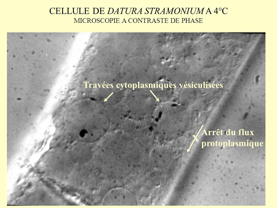CELLULE DE DATURA STRAMONIUM A 4°C MICROSCOPIE A CONTRASTE DE PHASE Travées cytoplasmiques vésiculisées Arrêt du flux protoplasmique X