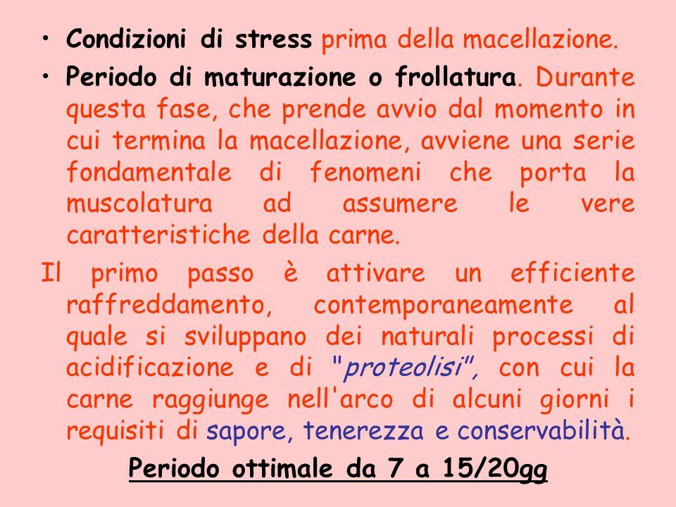 Condizioni di stress prima della macellazione. Periodo di maturazione o frollatura. Durante questa fase, che prende avvio dal momento in cui termina l