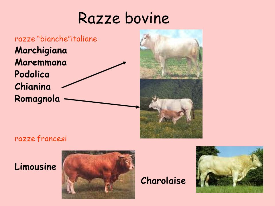 Razze bovine razze biancheitaliane Marchigiana Maremmana Podolica Chianina Romagnola razze francesi Limousine Charolaise
