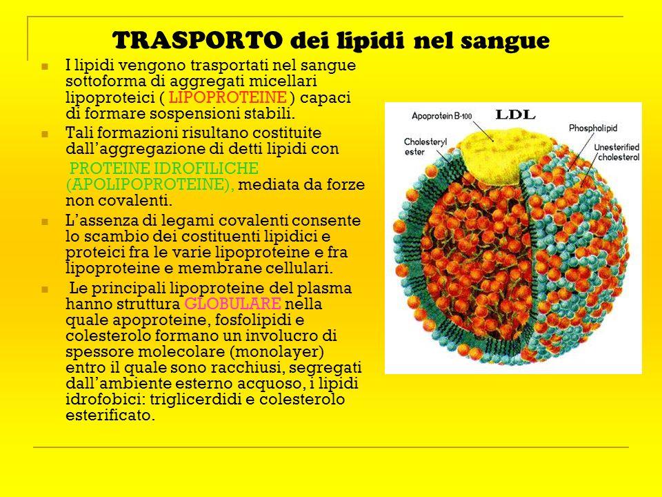 TRASPORTO dei lipidi nel sangue I lipidi vengono trasportati nel sangue sottoforma di aggregati micellari lipoproteici ( LIPOPROTEINE ) capaci di form