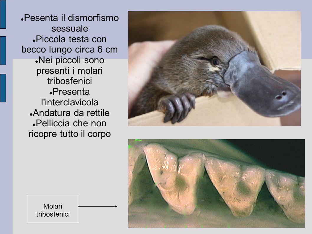 Pesenta il dismorfismo sessuale Piccola testa con becco lungo circa 6 cm Nei piccoli sono presenti i molari tribosfenici Presenta l'interclavicola And