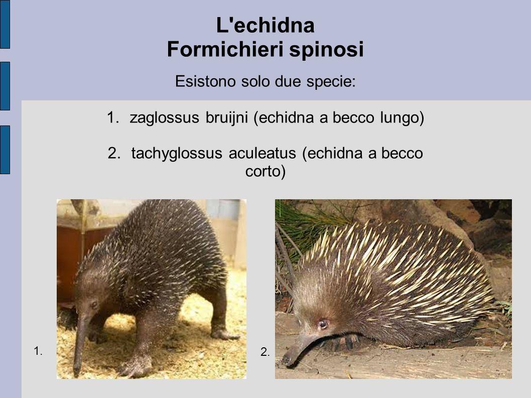 L'echidna Formichieri spinosi Esistono solo due specie: 1.zaglossus bruijni (echidna a becco lungo) 2.tachyglossus aculeatus (echidna a becco corto) 1