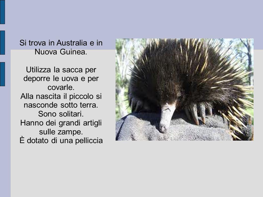 Si trova in Australia e in Nuova Guinea. Utilizza la sacca per deporre le uova e per covarle. Alla nascita il piccolo si nasconde sotto terra. Sono so
