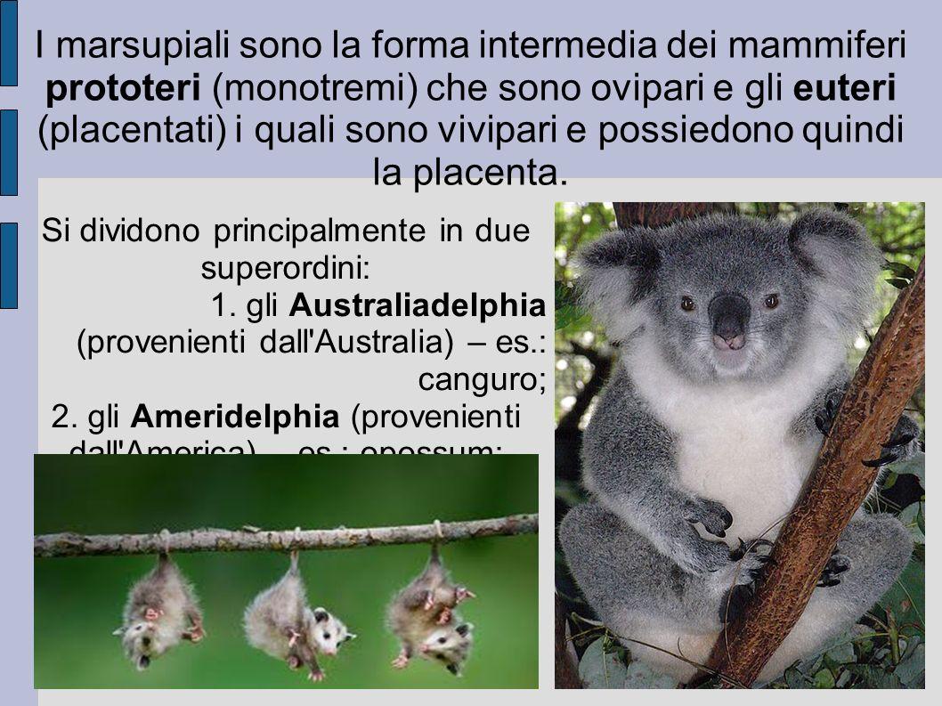 I marsupiali sono la forma intermedia dei mammiferi prototeri (monotremi) che sono ovipari e gli euteri (placentati) i quali sono vivipari e possiedon