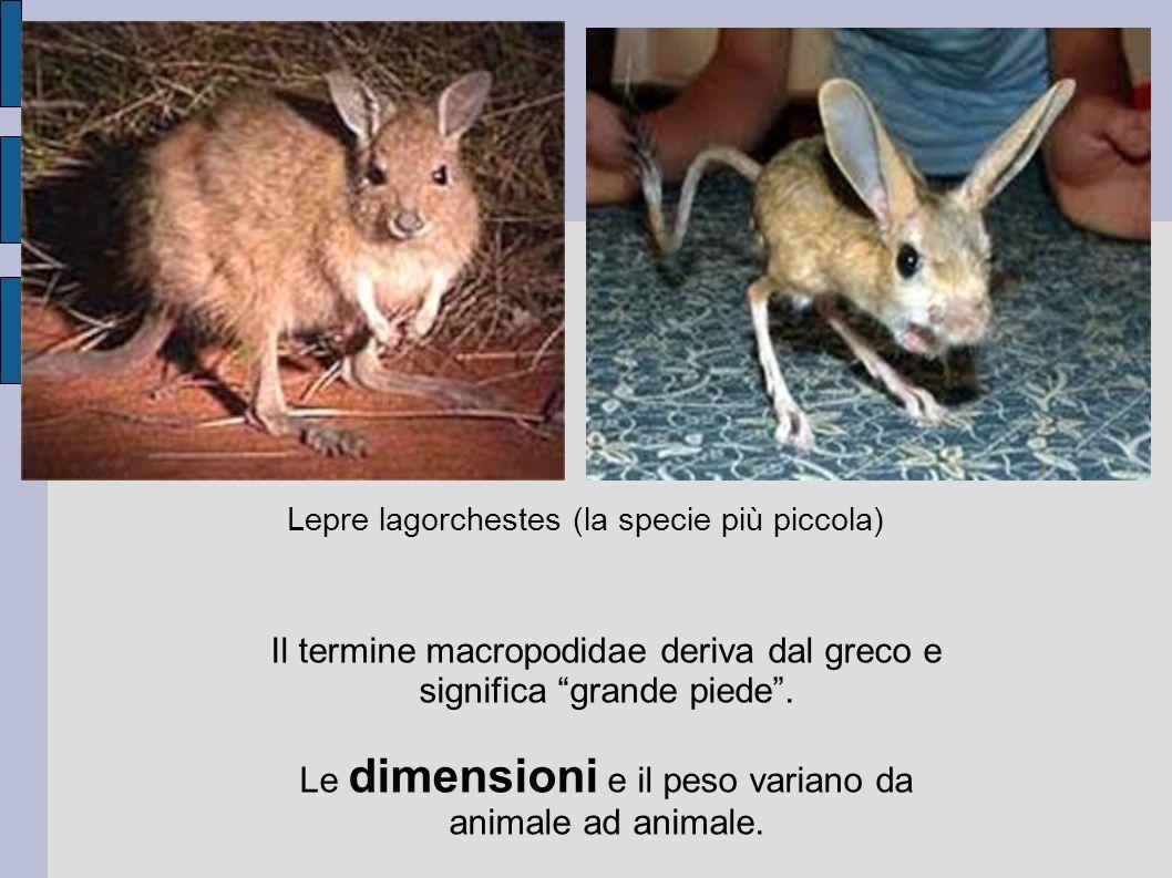 Il termine macropodidae deriva dal greco e significa grande piede. Le dimensioni e il peso variano da animale ad animale. Lepre lagorchestes (la speci