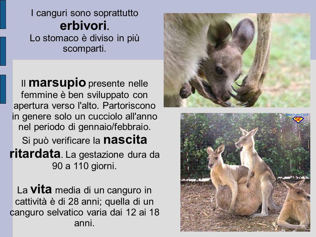 I canguri sono soprattutto erbivori. Lo stomaco è diviso in più scomparti. Il marsupio presente nelle femmine è ben sviluppato con apertura verso l'al