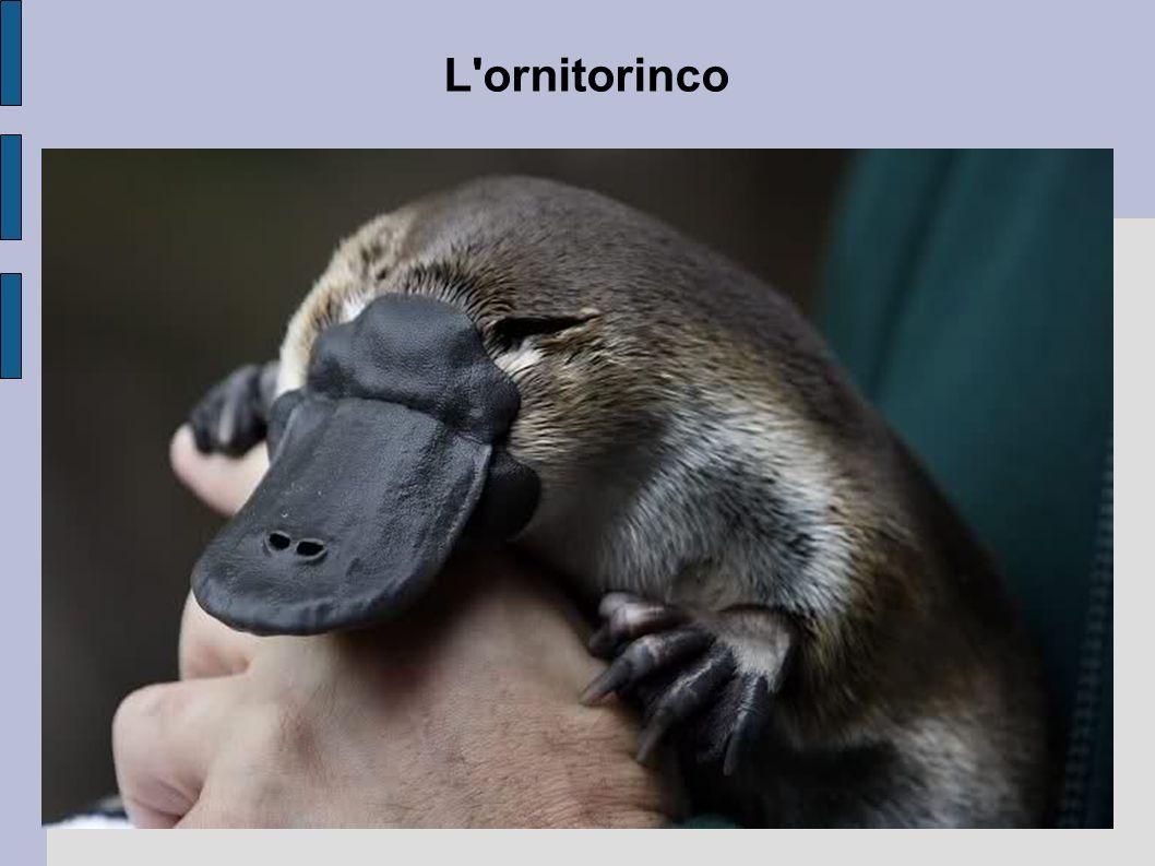 L'ornitorinco