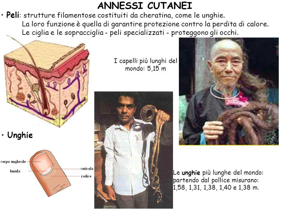 ANNESSI CUTANEI Peli : strutture filamentose costituiti da cheratina, come le unghie. La loro funzione è quella di garantire protezione contro la perd