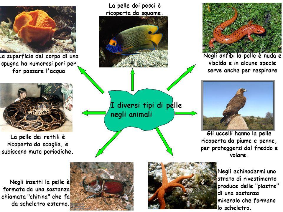La superficie del corpo di una spugna ha numerosi pori per far passare l'acqua La pelle dei pesci è ricoperta da squame. Negli anfibi la pelle è nuda