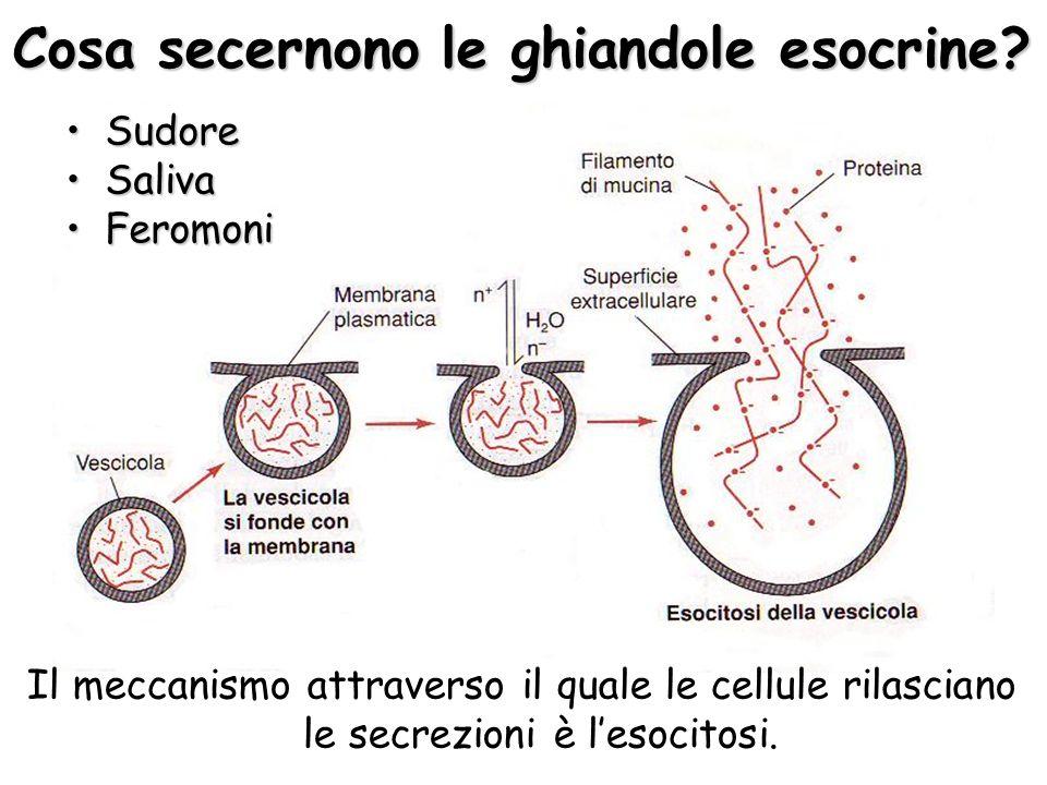 Cosa secernono le ghiandole esocrine? Il meccanismo attraverso il quale le cellule rilasciano le secrezioni è lesocitosi. SudoreSudore SalivaSaliva Fe