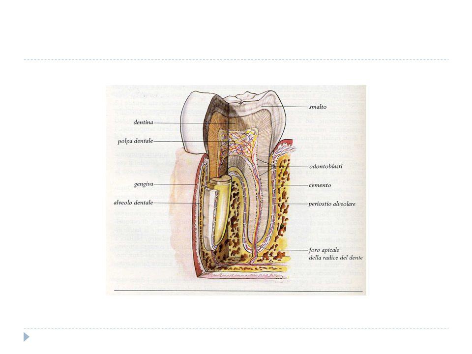 le malattie che colpiscono i denti sono due: La carie e le pulpiti.