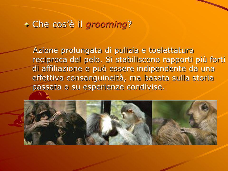 Che cosè il grooming? Azione prolungata di pulizia e toelettatura reciproca del pelo. Si stabiliscono rapporti più forti di affiliazione e può essere