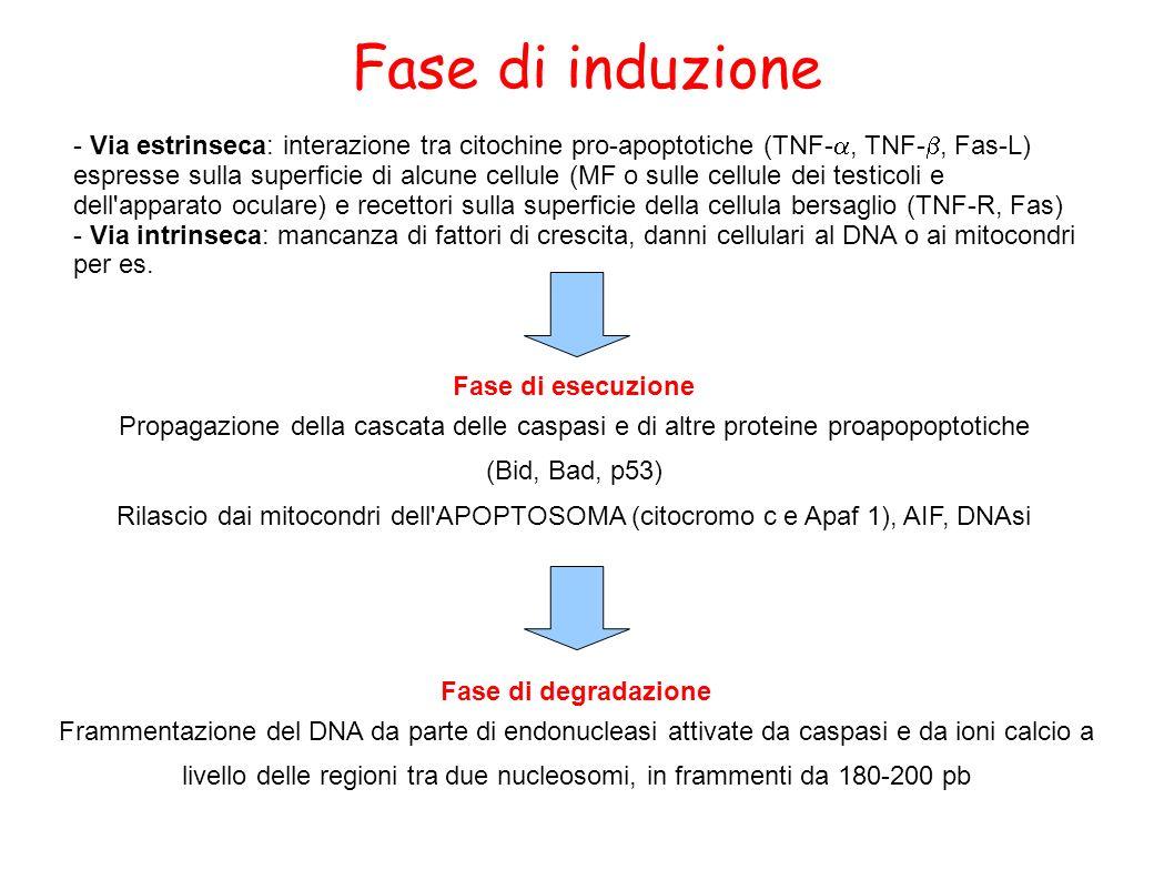 Fase di induzione - Via estrinseca: interazione tra citochine pro-apoptotiche (TNF-, TNF-, Fas-L) espresse sulla superficie di alcune cellule (MF o su