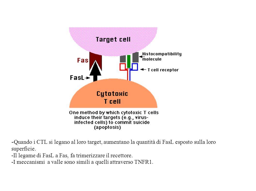 - Quando i CTL si legano al loro target, aumentano la quantità di FasL esposto sulla loro superficie. -Il legame di FasL a Fas, fa trimerizzare il rec