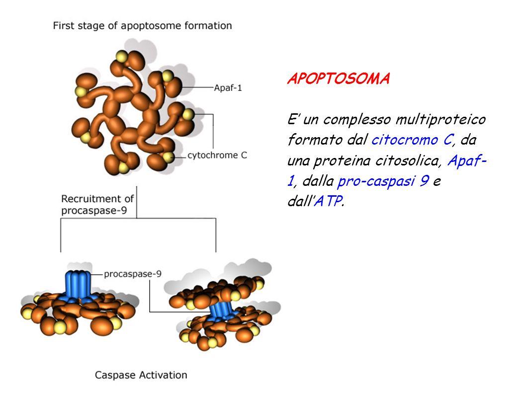 APOPTOSOMA E un complesso multiproteico formato dal citocromo C, da una proteina citosolica, Apaf- 1, dalla pro-caspasi 9 e dallATP.