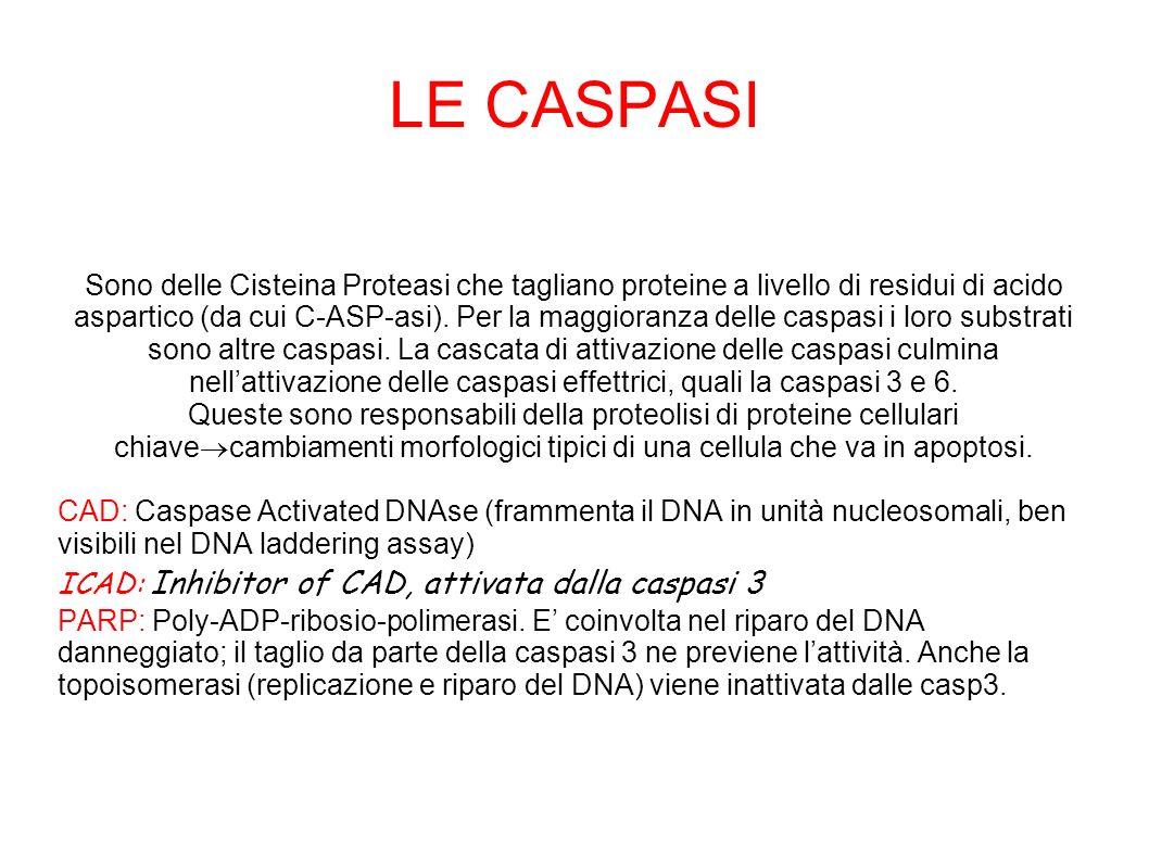 LE CASPASI Sono delle Cisteina Proteasi che tagliano proteine a livello di residui di acido aspartico (da cui C-ASP-asi). Per la maggioranza delle cas
