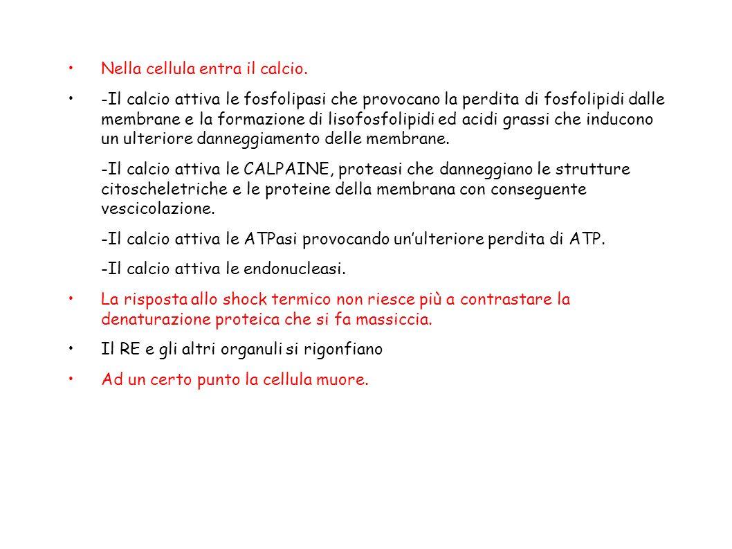 Nella cellula entra il calcio. -Il calcio attiva le fosfolipasi che provocano la perdita di fosfolipidi dalle membrane e la formazione di lisofosfolip