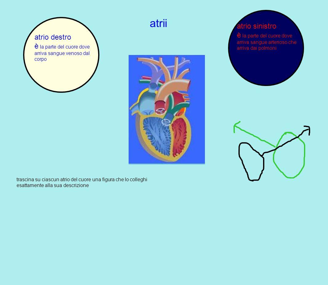 atrii trascina su ciascun atrio del cuore una figura che lo colleghi esattamente alla sua descrizione atrio destro è la parte del cuore dove arriva sa