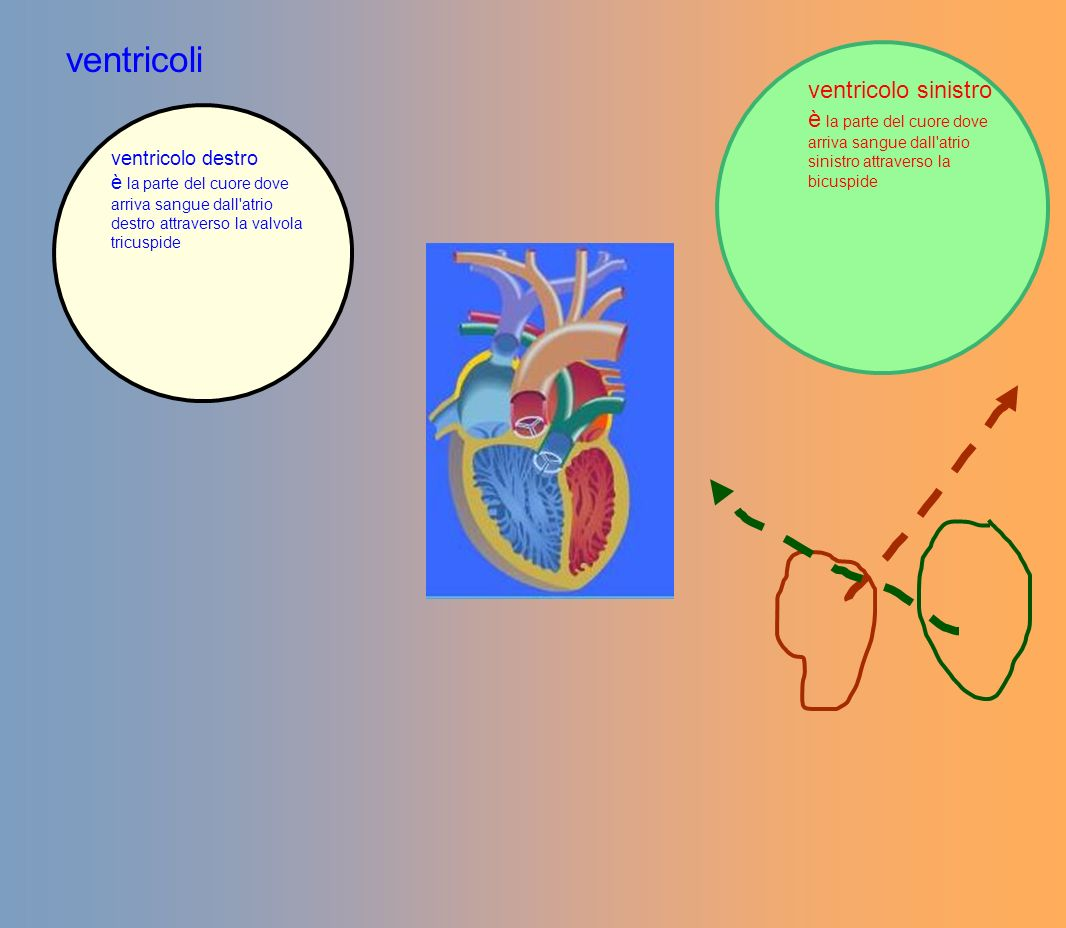 ventricoli ventricolo sinistro è la parte del cuore dove arriva sangue dall'atrio sinistro attraverso la bicuspide ventricolo destro è la parte del cu