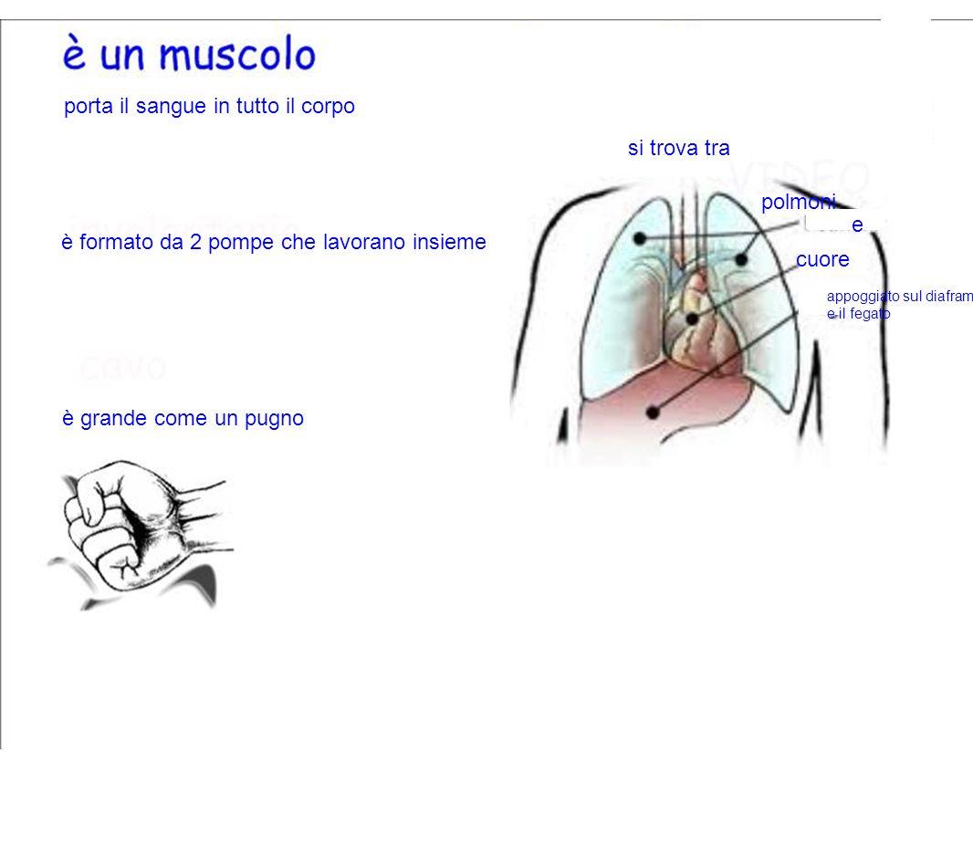 porta il sangue in tutto il corpo cuore polmoni è grande come un pugno si trova tra e appoggiato sul diaframma e il fegato è formato da 2 pompe che la