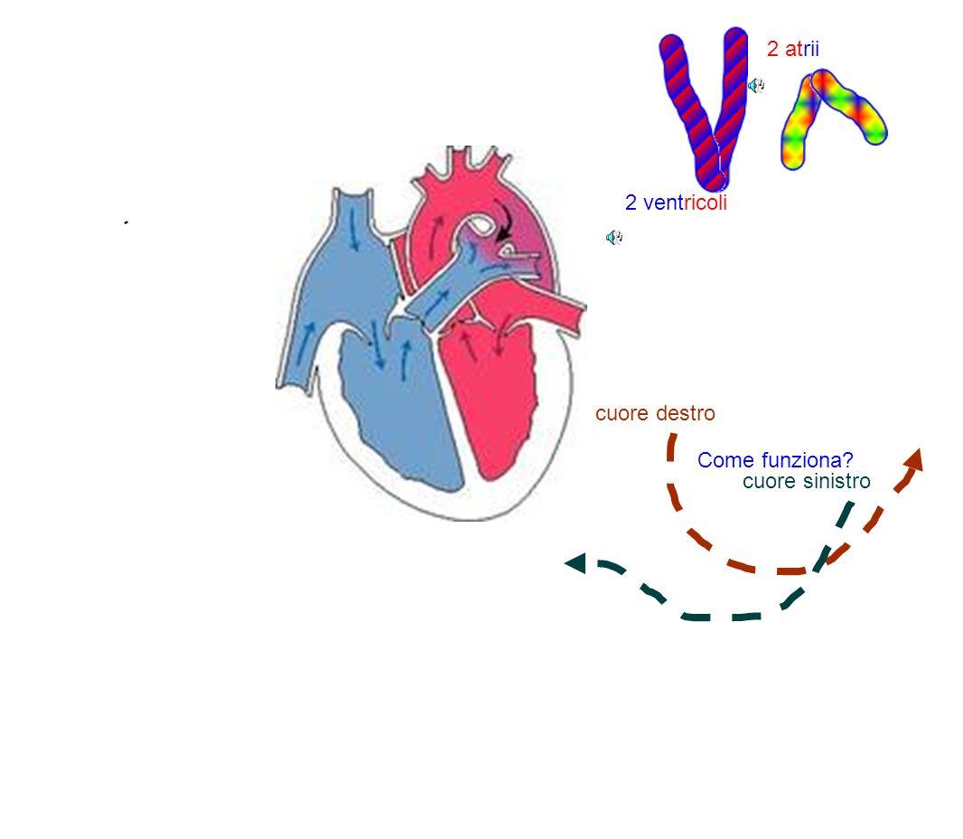 cuore destro cuore sinistro 2 atrii 2 ventricoli Come funziona?