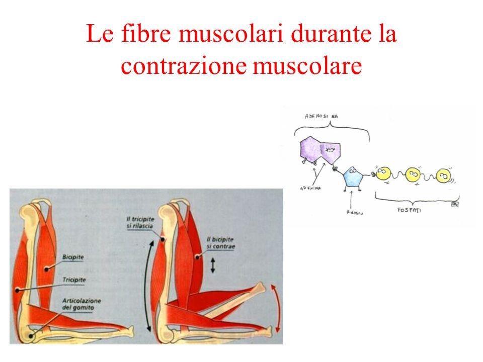 Le fibre muscolari durante la contrazione muscolare