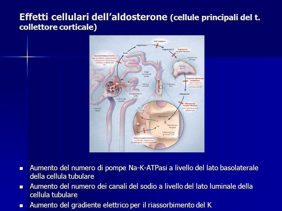 Effetti cellulari dellaldosterone (cellule principali del t. collettore corticale) Aumento del numero di pompe Na-K-ATPasi a livello del lato basolate