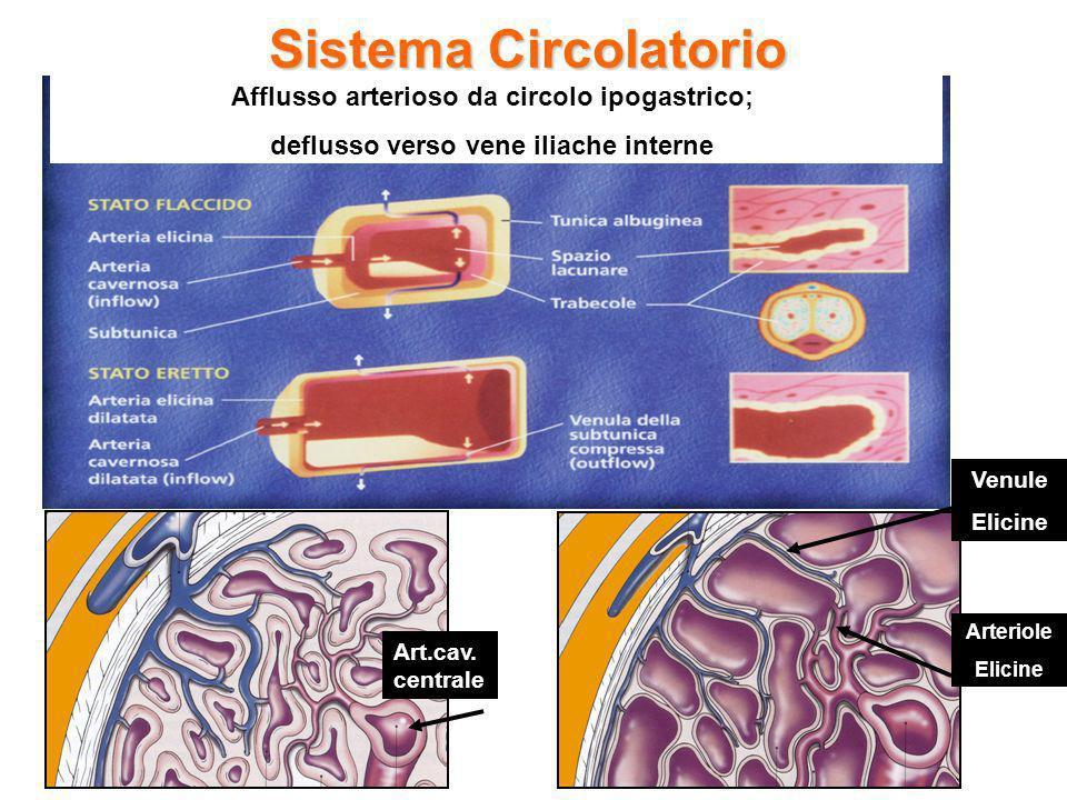 Sistema Circolatorio Afflusso arterioso da circolo ipogastrico; deflusso verso vene iliache interne Art.cav. centrale Arteriole Elicine Venule Elicine