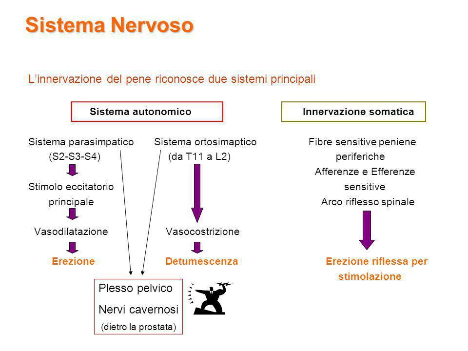 Sistema Nervoso Linnervazione del pene riconosce due sistemi principali Sistema autonomico Innervazione somatica Sistema parasimpatico Sistema ortosim