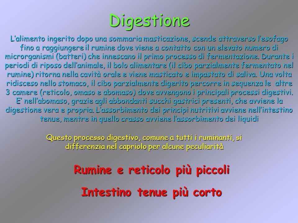 Digestione Lalimento ingerito dopo una sommaria masticazione, scende attraverso lesofago fino a raggiungere il rumine dove viene a contatto con un ele