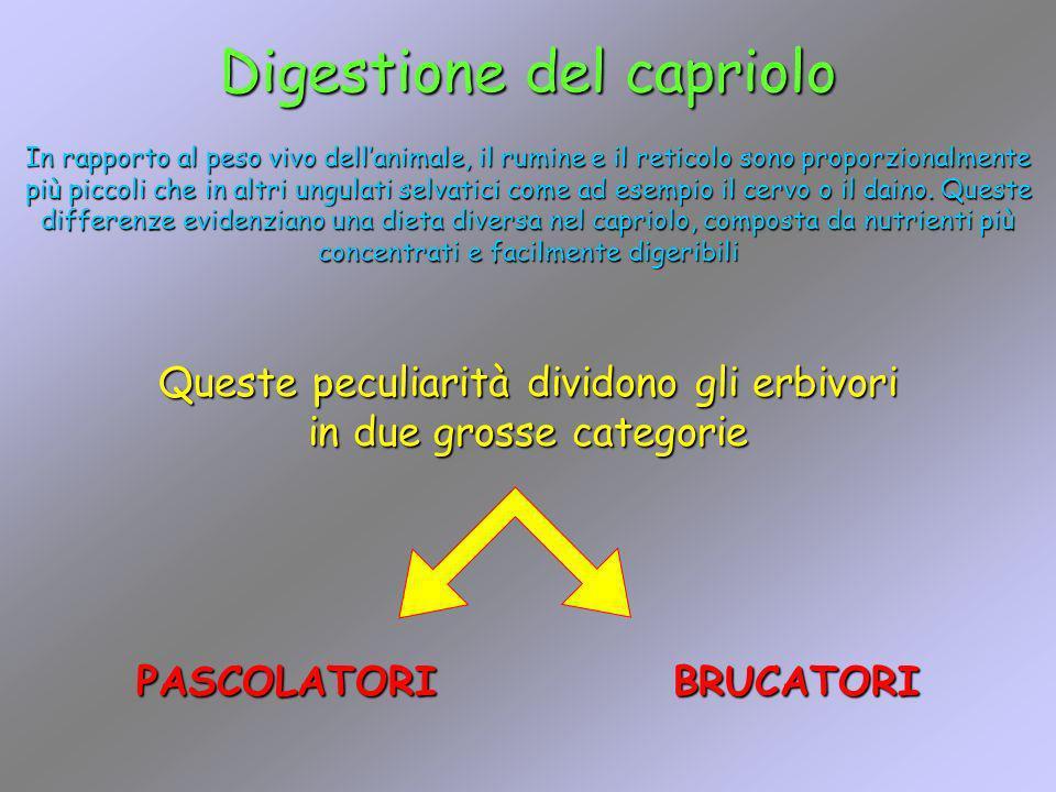 Digestione del capriolo In rapporto al peso vivo dellanimale, il rumine e il reticolo sono proporzionalmente più piccoli che in altri ungulati selvati
