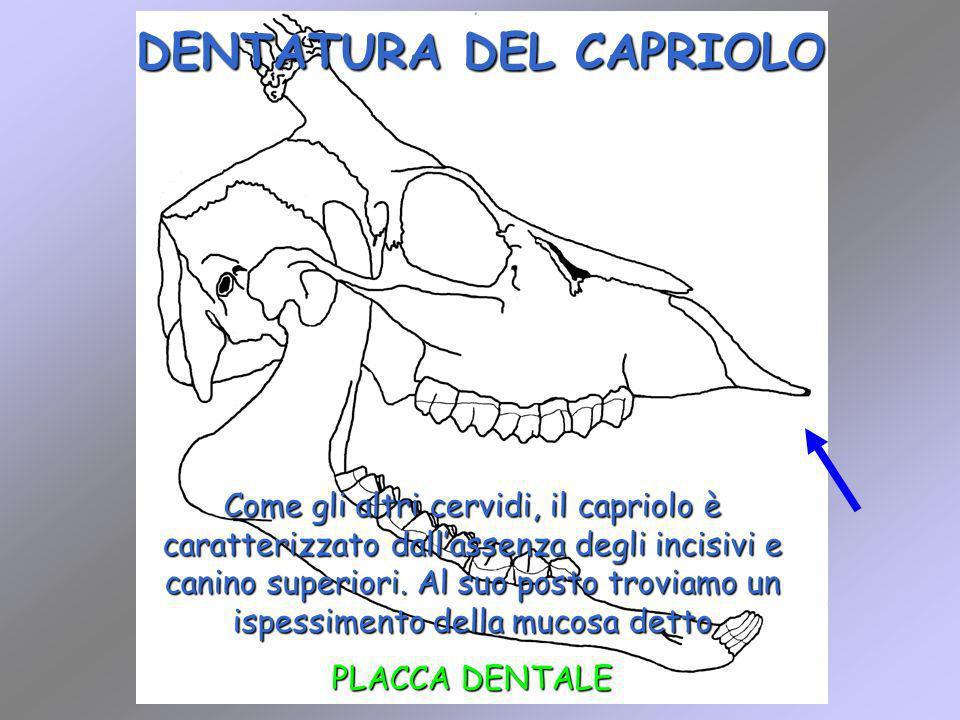 DENTATURA DEL CAPRIOLO Come gli altri cervidi, il capriolo è caratterizzato dallassenza degli incisivi e canino superiori. Al suo posto troviamo un is