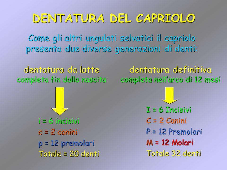 DENTATURA DEL CAPRIOLO i = 6 incisivi c = 2 canini p = 12 premolari Totale = 20 denti Come gli altri ungulati selvatici il capriolo presenta due diver