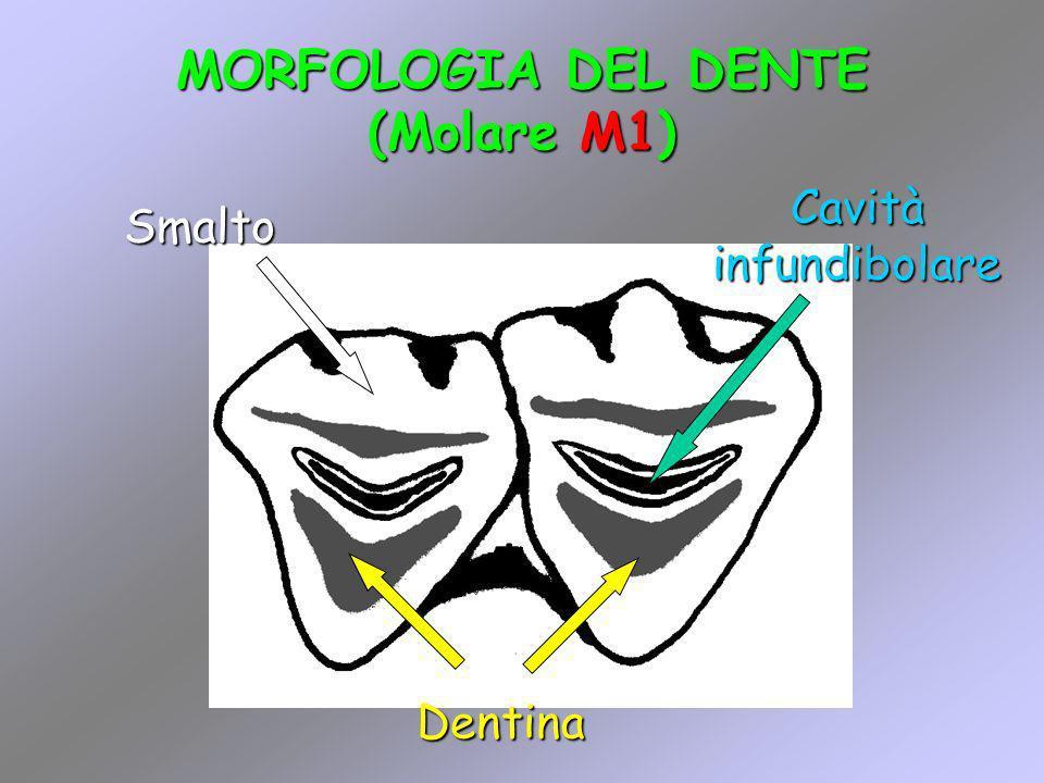 MORFOLOGIA DEL DENTE (Molare M1) Dentina Smalto Cavità infundibolare