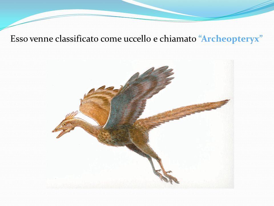 Esso venne classificato come uccello e chiamato Archeopteryx