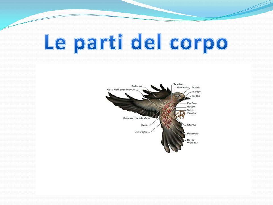 La principale teoria dice che lArcheopteryx era un dinosauro terrestre corridore che sbatteva le zampe durante la corsa per prendere velocità fino a essere in grado (grazie alle piume sempre più lunghe) di sollevarsi da terra.