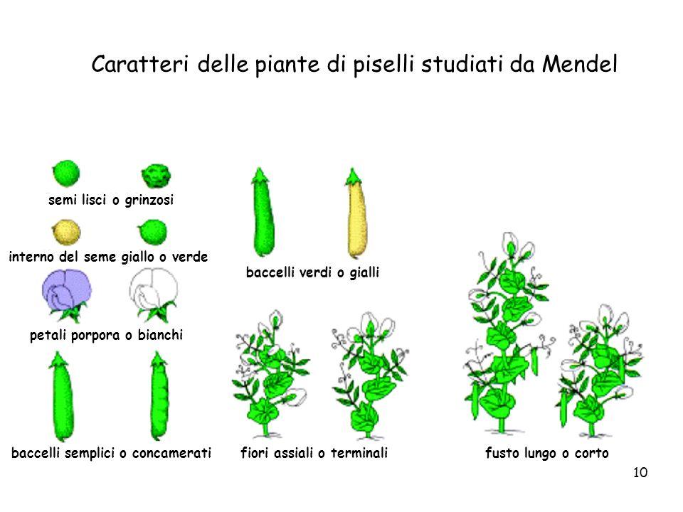 10 Caratteri delle piante di piselli studiati da Mendel semi lisci o grinzosi interno del seme giallo o verde petali porpora o bianchi baccelli sempli