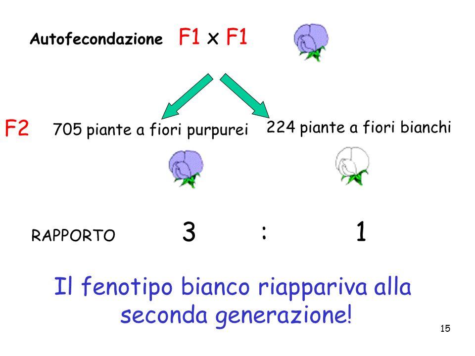 15 RAPPORTO 3 : 1 Autofecondazione F1 x F1 224 piante a fiori bianchi 705 piante a fiori purpurei F2 Il fenotipo bianco riappariva alla seconda genera