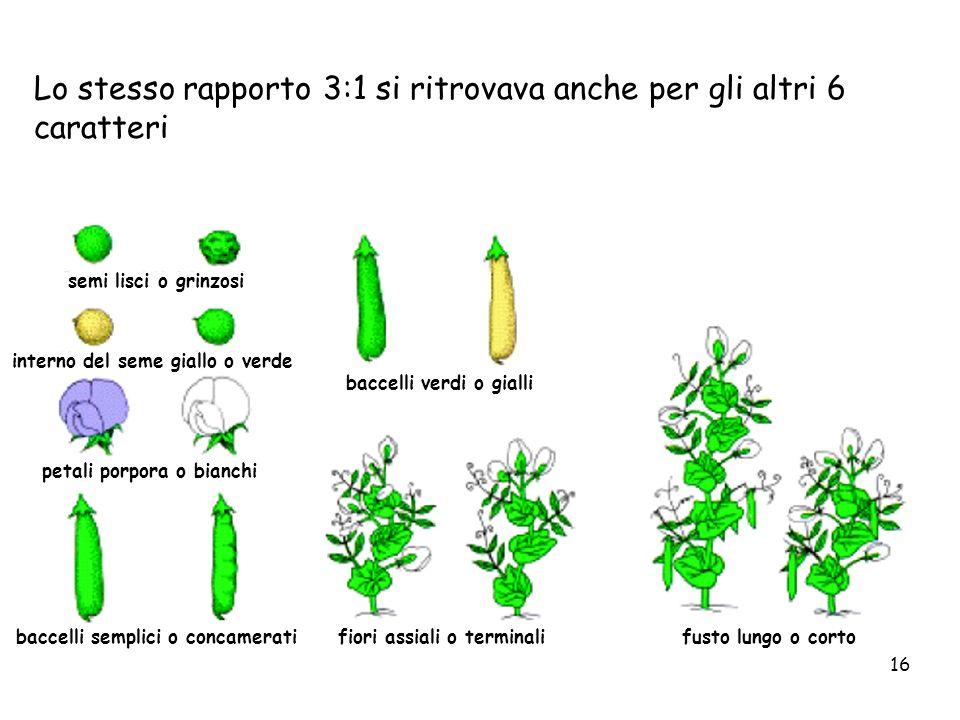 16 semi lisci o grinzosi interno del seme giallo o verde petali porpora o bianchi baccelli semplici o concamerati baccelli verdi o gialli fiori assial