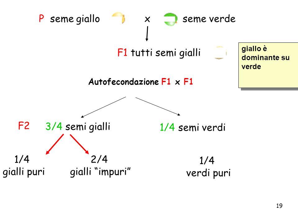 19 P seme giallo x seme verde F1 tutti semi gialli 1/4 verdi puri 1/4 gialli puri 2/4 gialli impuri 3/4 semi gialli F2 1/4 semi verdi Autofecondazione