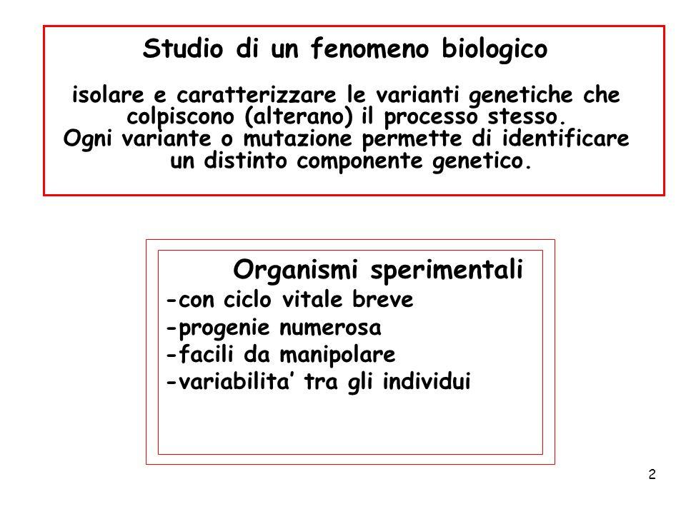 2 Organismi sperimentali -con ciclo vitale breve -progenie numerosa -facili da manipolare -variabilita tra gli individui Studio di un fenomeno biologi