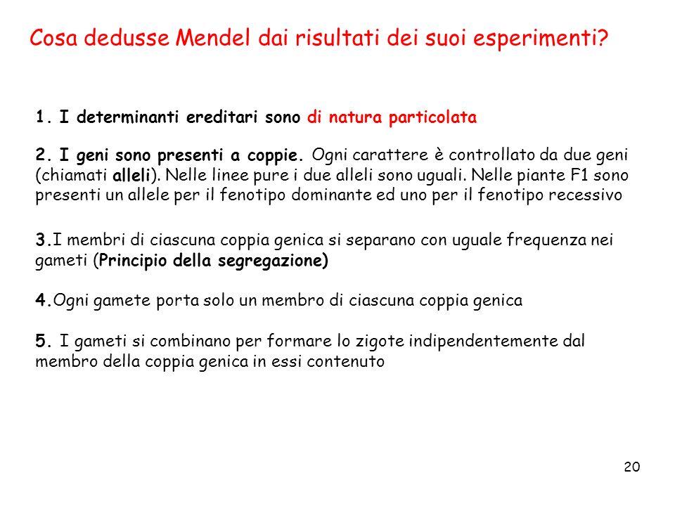 20 Cosa dedusse Mendel dai risultati dei suoi esperimenti? 1. I determinanti ereditari sono di natura particolata 2. I geni sono presenti a coppie. Og
