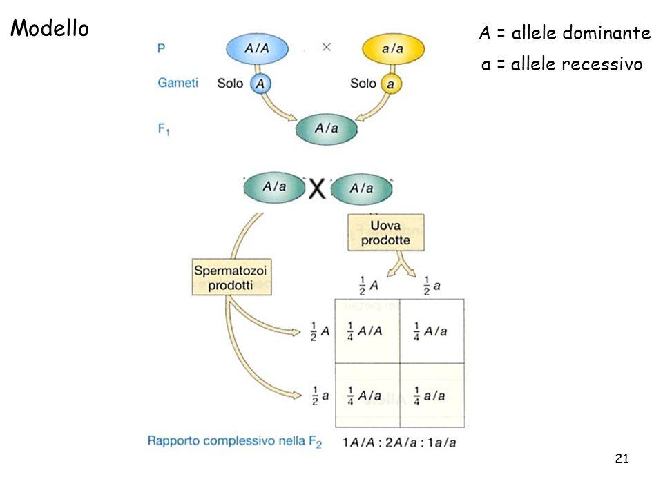 21 Modello A = allele dominante a = allele recessivo