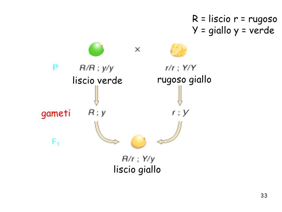 33 R = liscio r = rugoso Y = giallo y = verde liscio verde rugoso giallo liscio giallo gameti Y