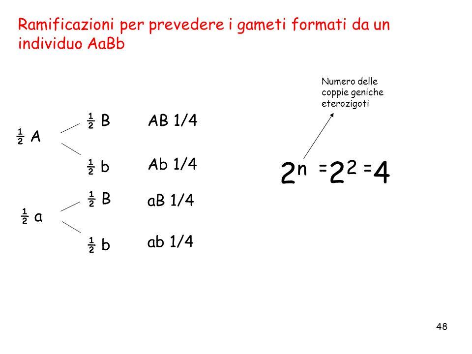 48 ½ A ½ a ½ B ½ b ½ B ½ b AB 1/4 Ab 1/4 ab 1/4 aB 1/4 = 2 2 = 4 Ramificazioni per prevedere i gameti formati da un individuo AaBb 2n2n Numero delle c