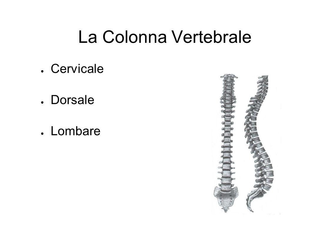 La Colonna Vertebrale Cervicale Dorsale Lombare