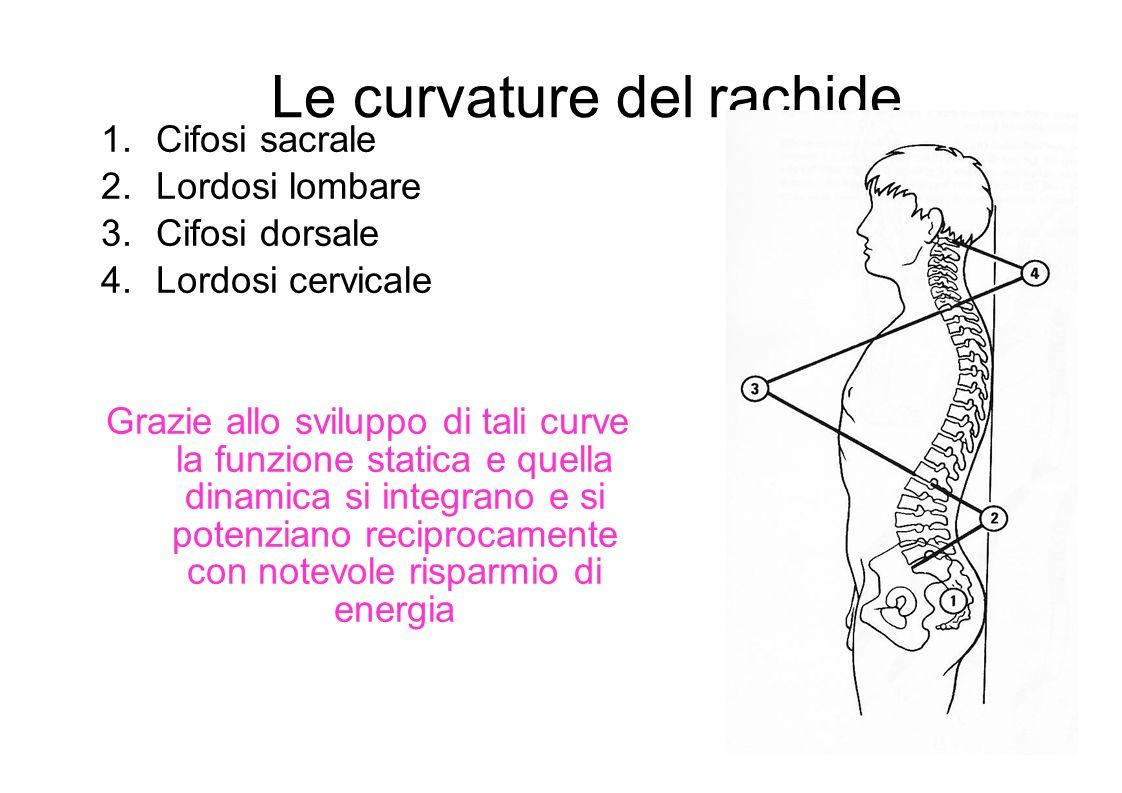 Le curvature del rachide 1.Cifosi sacrale 2.Lordosi lombare 3.Cifosi dorsale 4.Lordosi cervicale Grazie allo sviluppo di tali curve la funzione statica e quella dinamica si integrano e si potenziano reciprocamente con notevole risparmio di energia